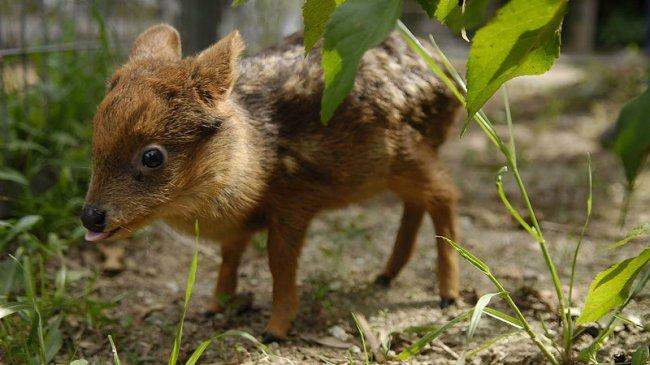 Самый маленький олень.