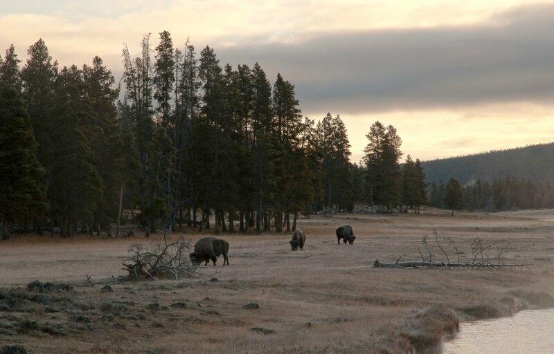 Утренний пейзаж с бизонами