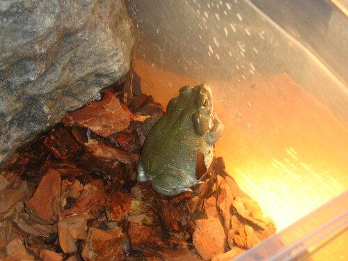 Идиотский вопрос про жаб !  - Страница 2 0_7a8da_57902cd4_L
