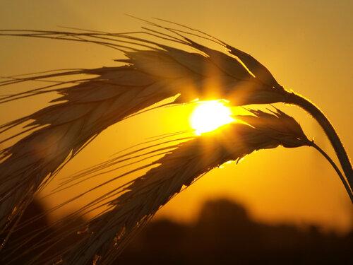 0 9a300 6e482873 L Притча о пшенице. Притчи о жизни.