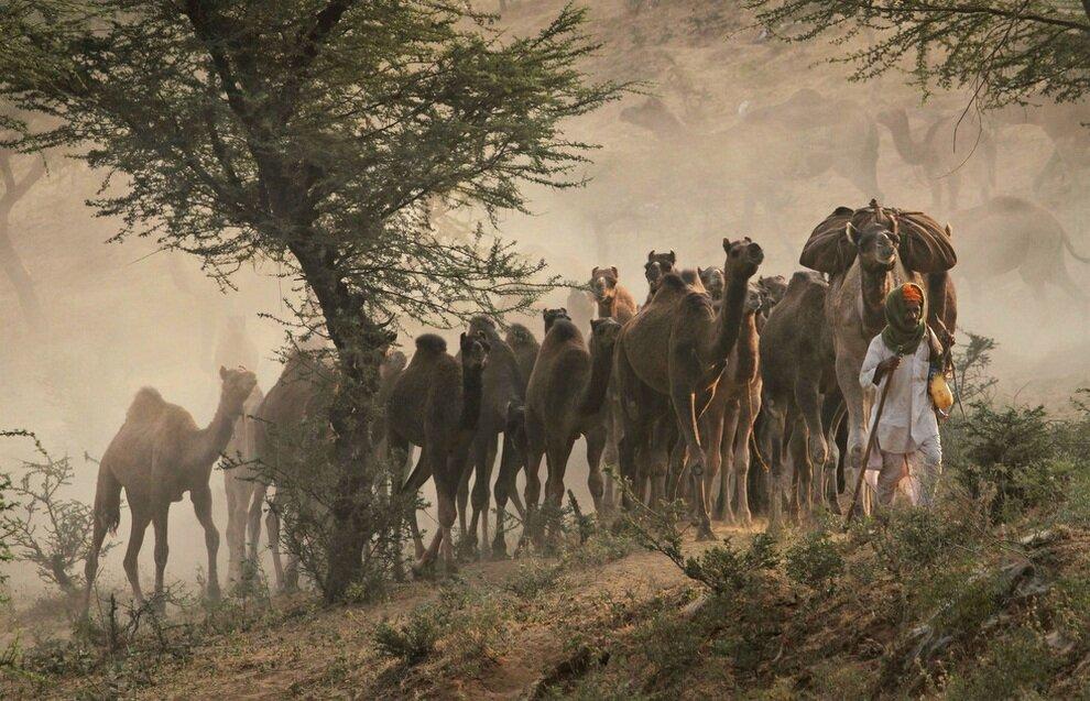 Торговец ведет своих верблюдов на ежегодную ярмарку в город Пушкар, штат Раджастхан, Индия.