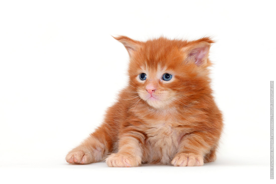 красный Мейн-кун котенок