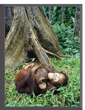 Малайзия. Two orangutan, Borneo, Malaysia - BMJ - shutterstock.