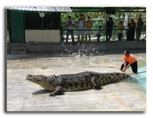 Малайзия. Лангкави. Крокодиловая ферма
