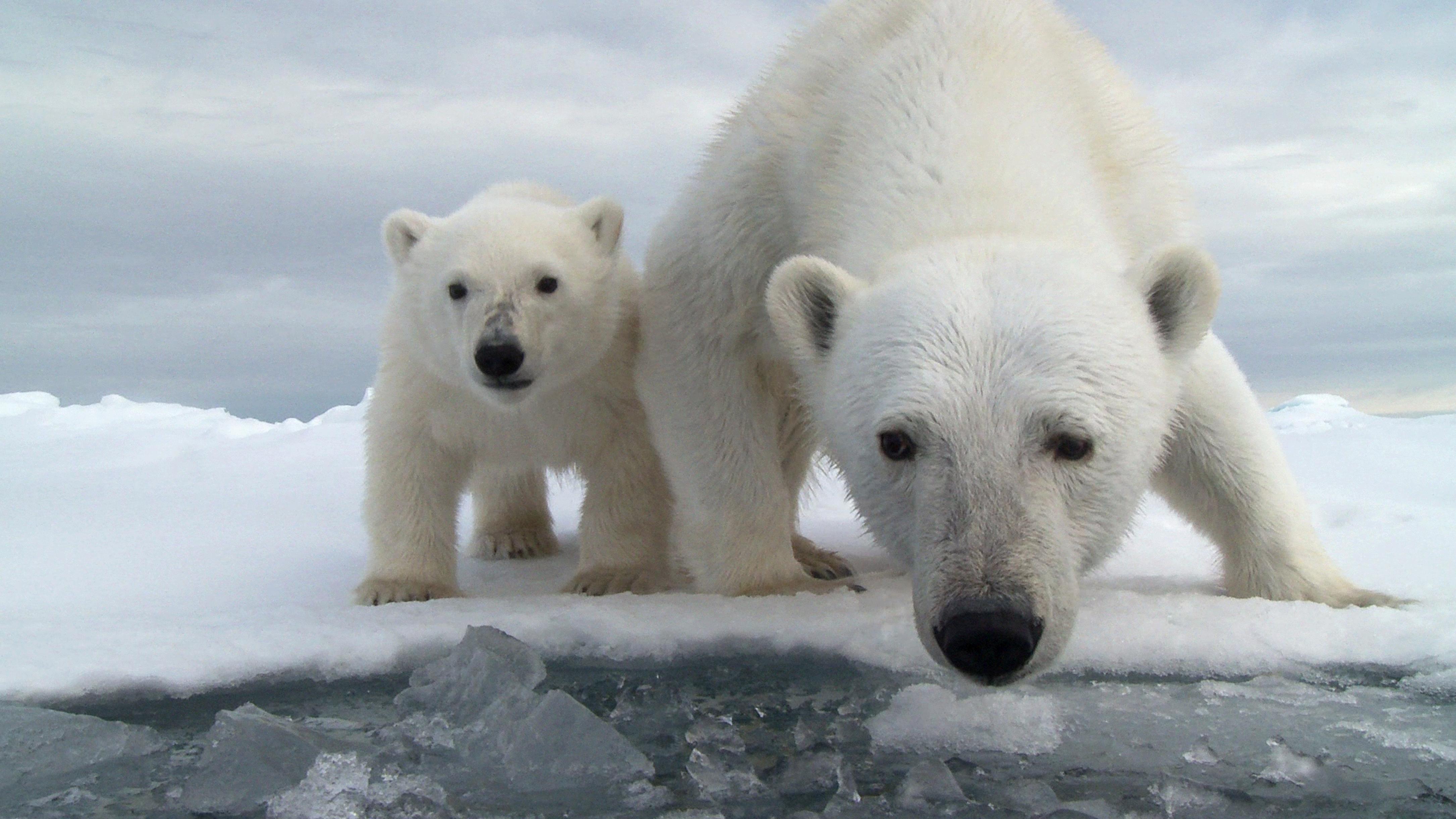 Впадают ли в спячку белые медведи?