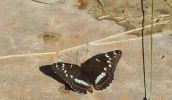Бабочка Ленточница тополевая