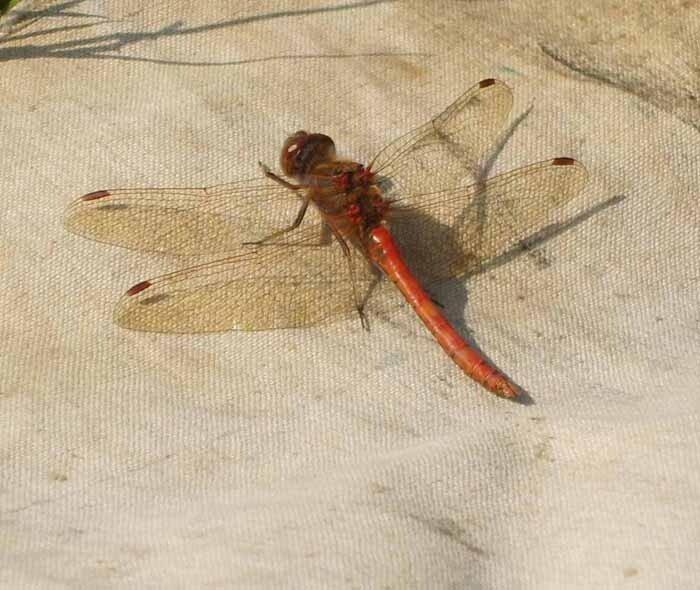 стрекоза на берегу Гнилуши