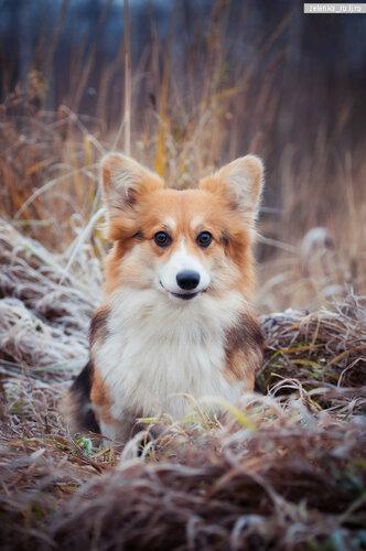 пофотографирую Ваших собак! 0_13f239_5a3f9920_L