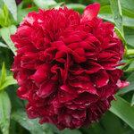 Календарь цветения пионов 2012г 0_6ff7c_4f2860b6_S