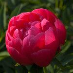Календарь цветения пионов 2012г 0_6ffa0_fd7da1d6_S