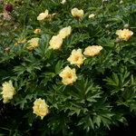 Календарь цветения пионов 2012г 0_6ffa8_a468dd41_S
