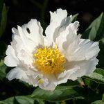 Календарь цветения пионов 2012г 0_6ffc8_d755fac7_S