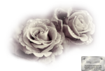 mtfp_218_misted_roses.png