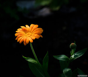 Opus 109486 (цветок)
