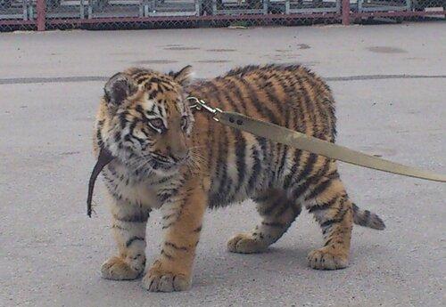 Отправка тигра