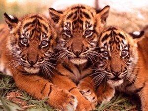 В Приморье две тигрицы с детёнышами впервые попали в фотоловушки