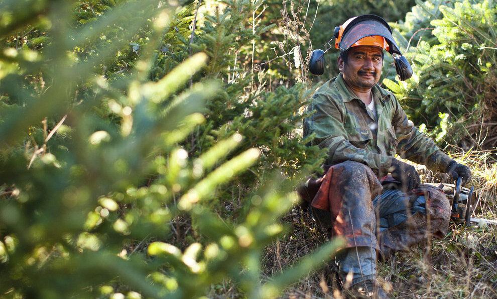 Иносенсио Эрнандес (Inocencio Hernandez) присел на минутный перерыв во время вырубки ели.