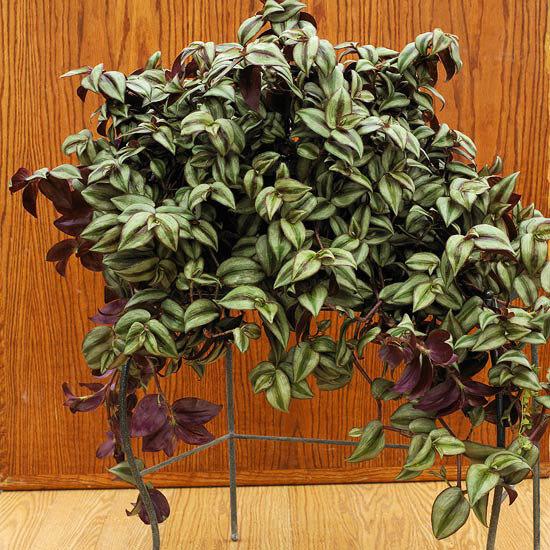 Цветок с полосатыми листьями