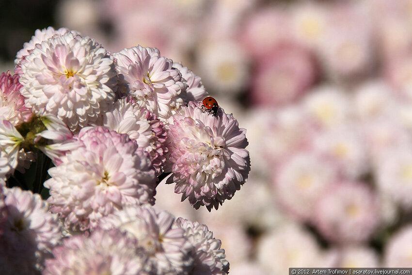 Божья коровка на бело-розовых цветах хризантемы