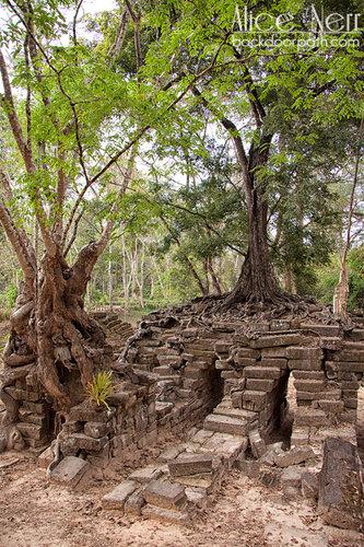 дерево, растущее на камнях, Ангкор, Камбоджа