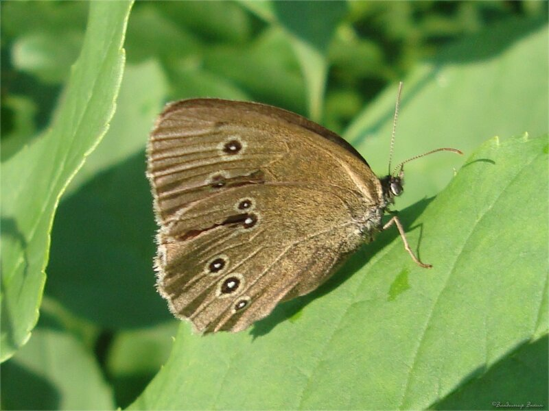 бархатница  – сатир цветочный