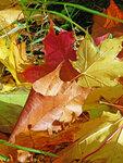 Осень, кленовые листья