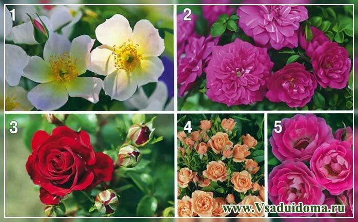 выращивание роз в контейнерах и горшках