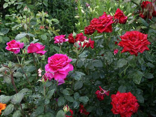роза фото юрианда