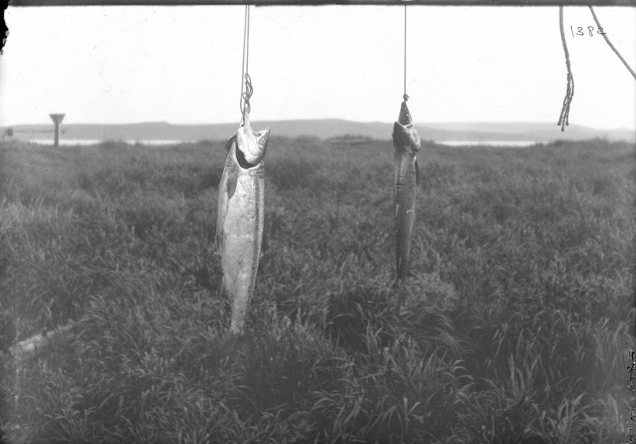 Лосось, Сибирь, 1901