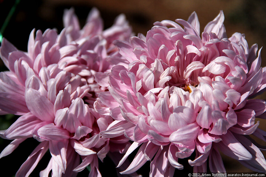 Пара больших роховых хризантем