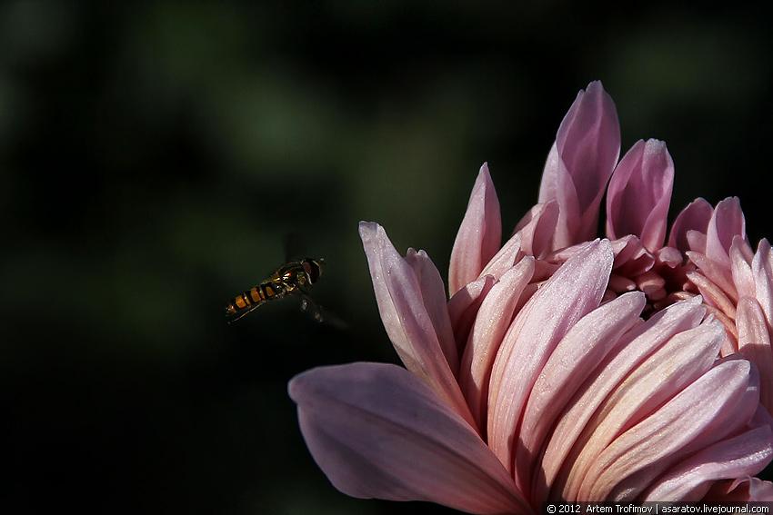 Оса подлетает к бутону хризантемы
