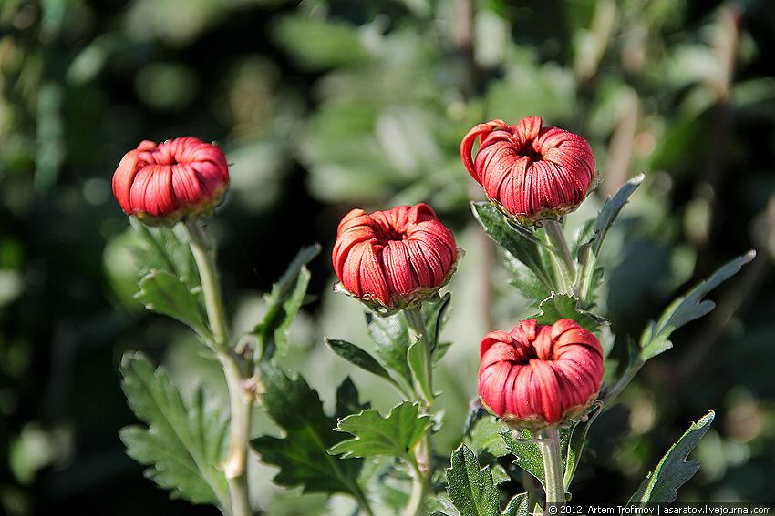 Нераспустившиеся бутоны хризантем