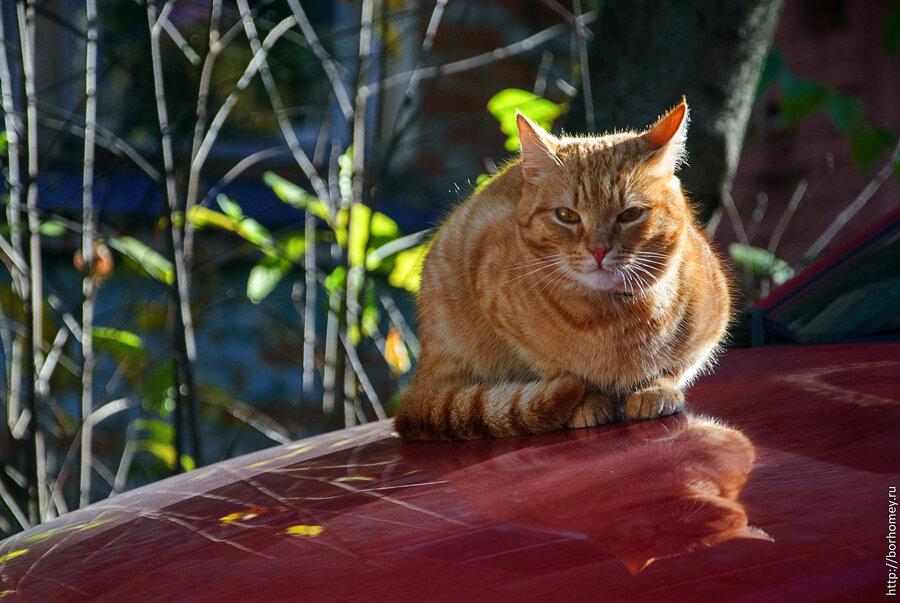 рыжий кот сидит на машине