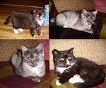 Кому персидских котят? Люберцы.