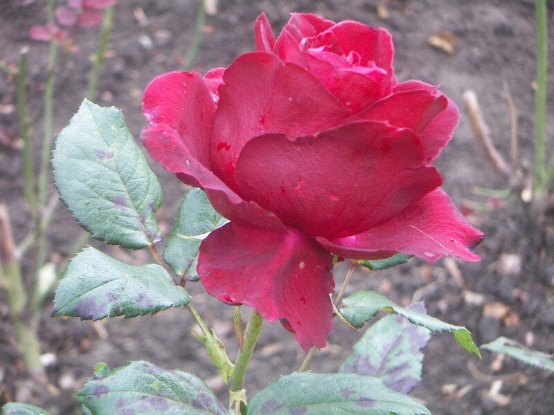 Осень - не сезон для нежных роз.