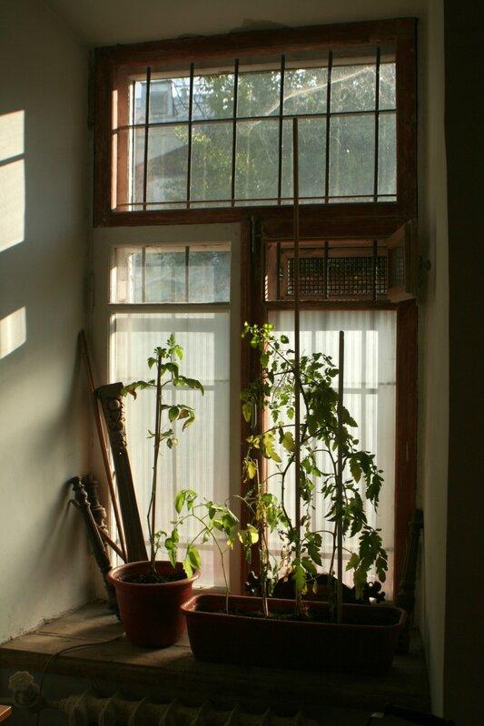 Кусты помидоров на окне