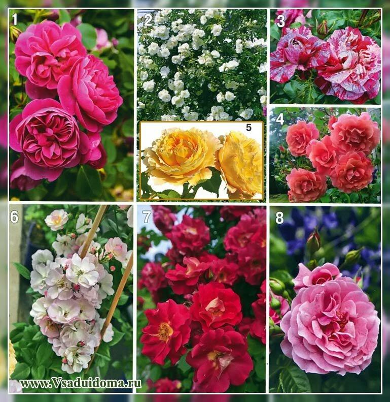 Выращивание роз и уход за розами для начинающих – Часть 2, Сайт о саде, даче и комнатных растениях