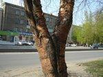Что за дерево, кто знает?