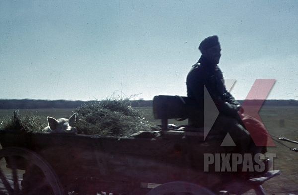 stock-photo-captured-pig-on-the-back-of-a-horse-cart-russia-1944-10879.jpg