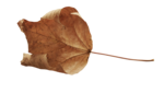 natali_halloween_leaf10.png