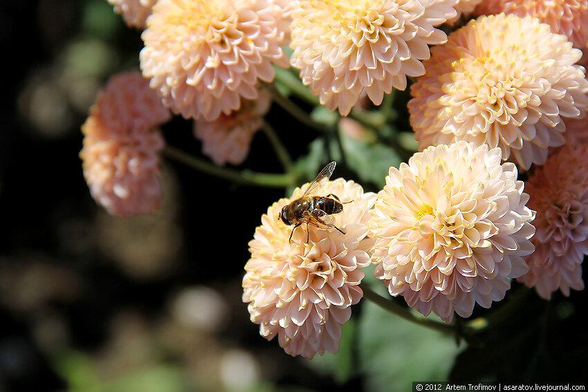 Пчела на цветке хризантемы