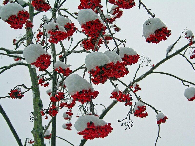 sofia.  Фото автора СОФИЯ на Яндекс.Фотках. рябина. снег.  Гроздь рябины на снегу Привлекает алостью.
