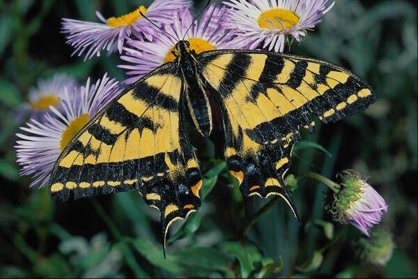 Бабочка на светло-сиреневых цветах.