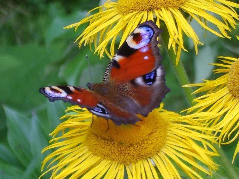 бабочка Дневной павлиний глаз