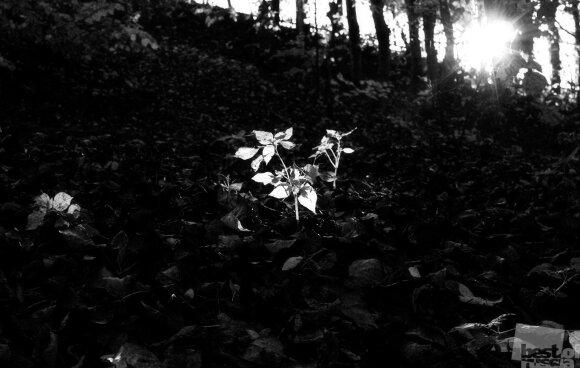 Афигенский солнечный цветок