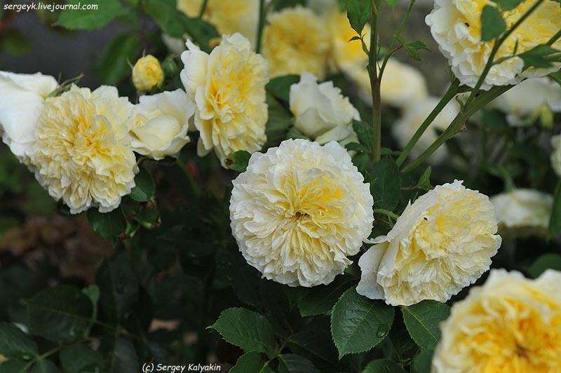 Rosa The Pilgrim  (4).JPG