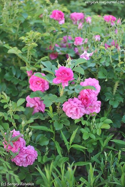 Rosa Wild Edric.JPG
