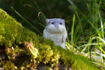 Hamster in the Kennemerland forests