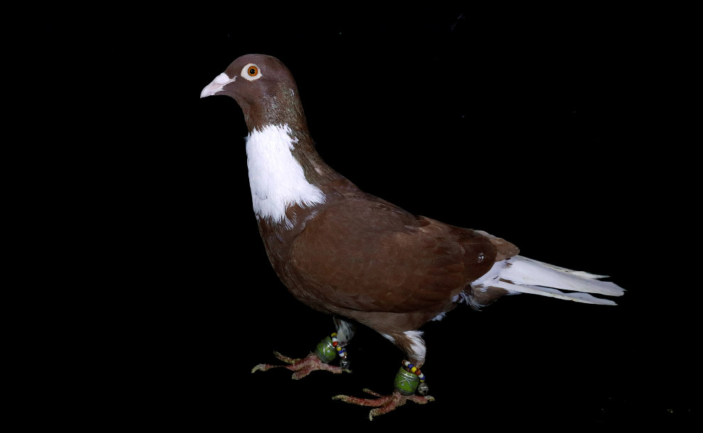 Скорость полёта и память голубей поразительны. Голуби нередко летали из Рима в Брюссель (около