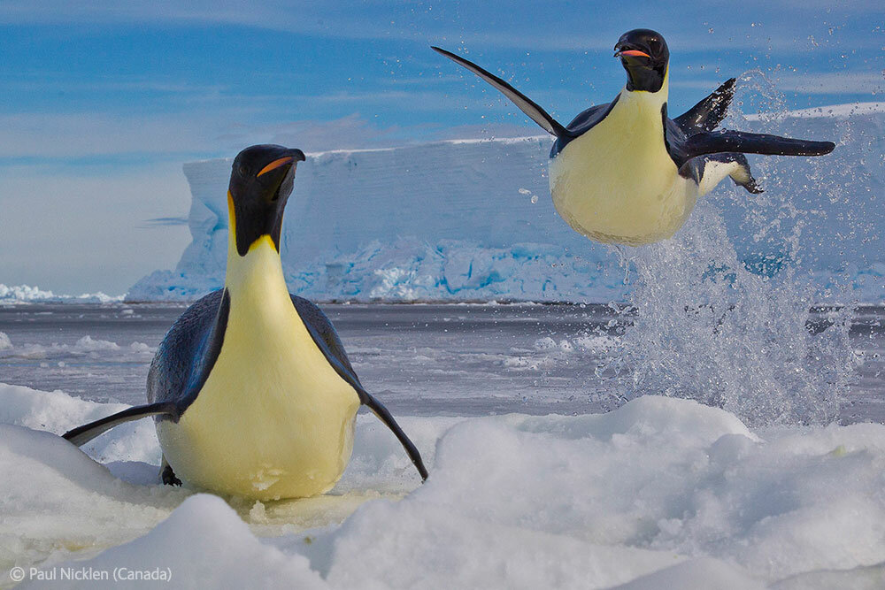 Emperor penguins emerge